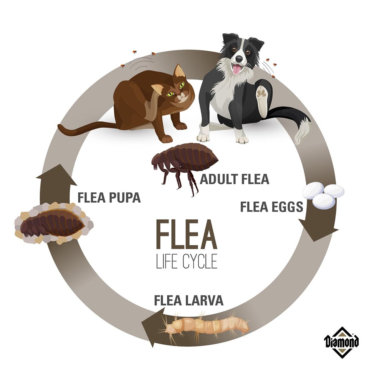Flea Lifecycle Diagram | Diamond Pet Foods