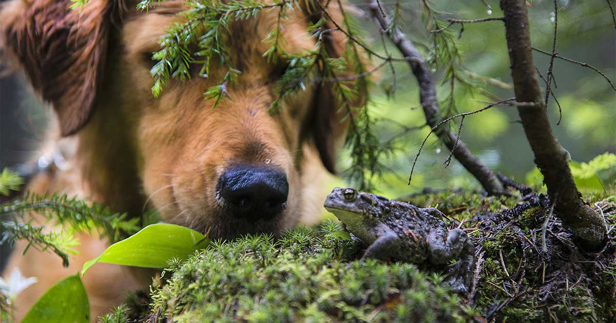 Golden Retriever Dog Looking at a Toad in the Forest | Diamond Pet Foods