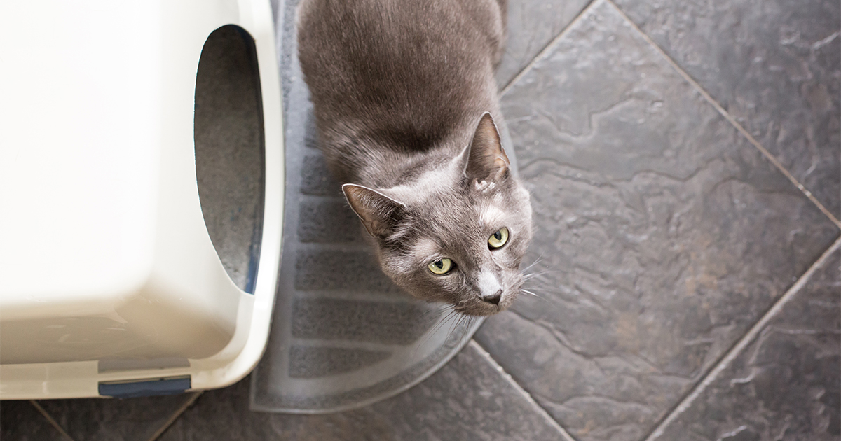 Grey Cat Next to Litterbox Looking Up | Diamond Pet Foods