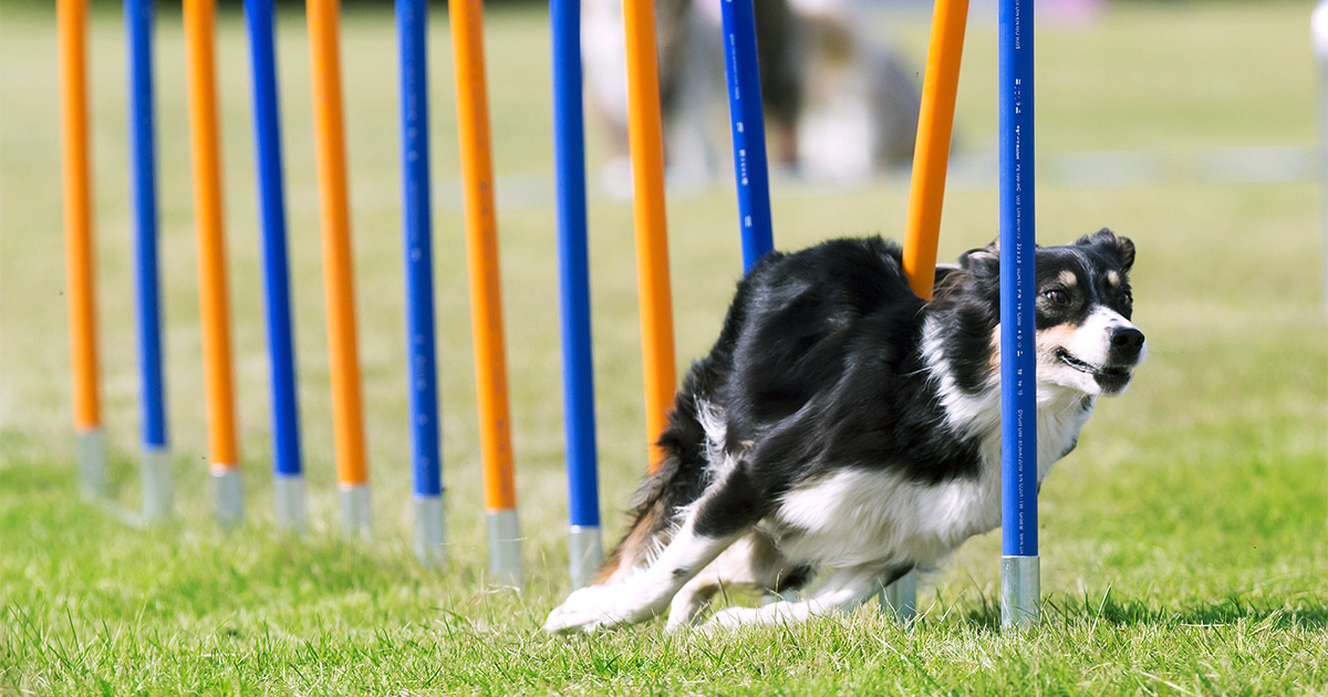 Border Collie Dog Going Through Slalom Sticks on an Outdoor Agility Competition | Diamond Pet Foods