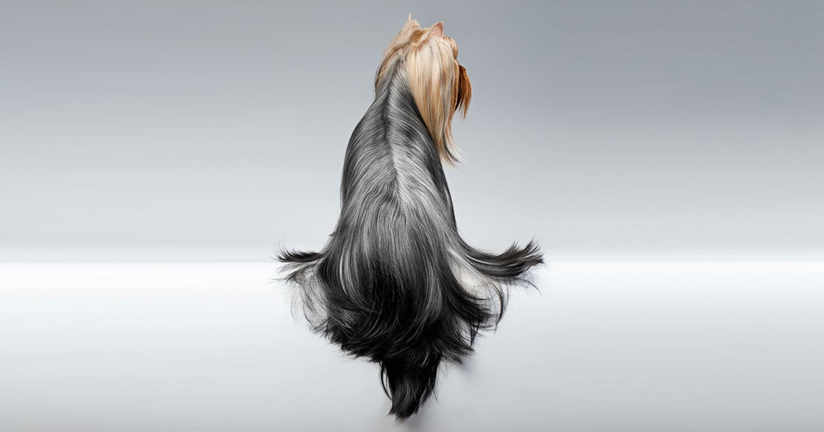 Yorkshire Terrier Dog with Long Groomed Hair on a White Background | Diamond Pet Foods