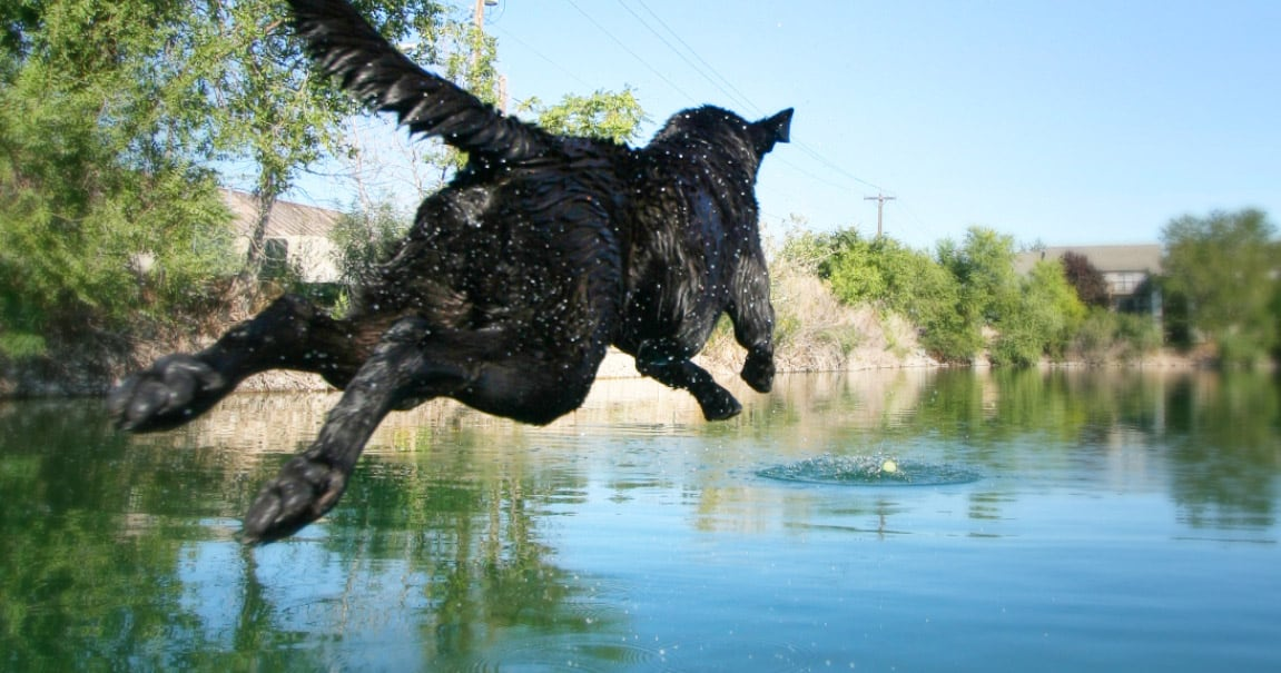 Black Labrador Retriever Dog Jumping Into a Pond While Playing Fetch | Diamond Pet Foods