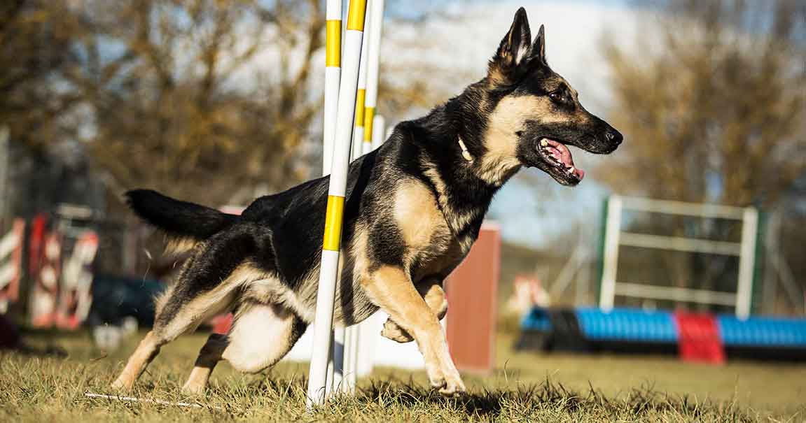 German Shepherd Weaving Through Poles at a Dog Agility Competition | Diamond Pet Foods