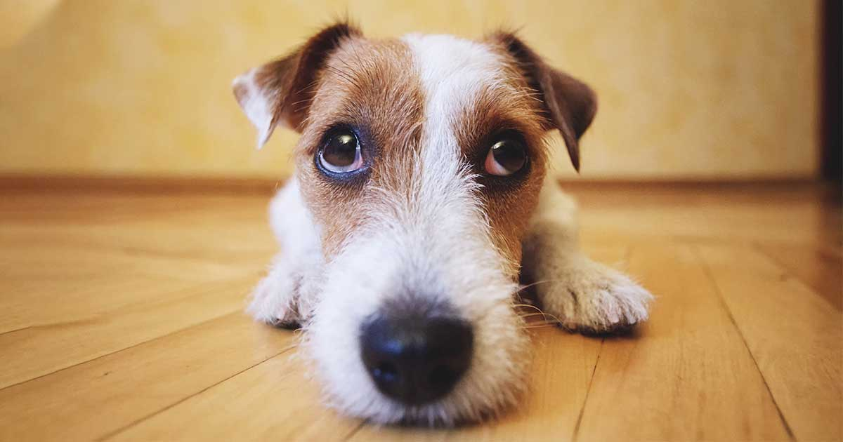 Sad-Looking Terrier Dog Lying on Hardwood Floor | Diamond Pet Foods