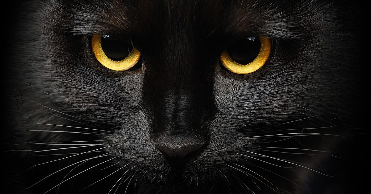 Closeup of a Black Cat's Face | Diamond Pet Foods