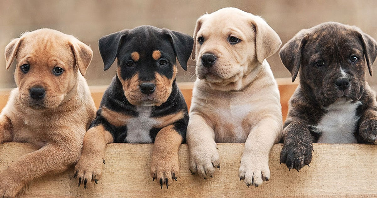 American Staffordshire Terrier Puppies Sitting in a Wood Box | Diamond Pet Foods