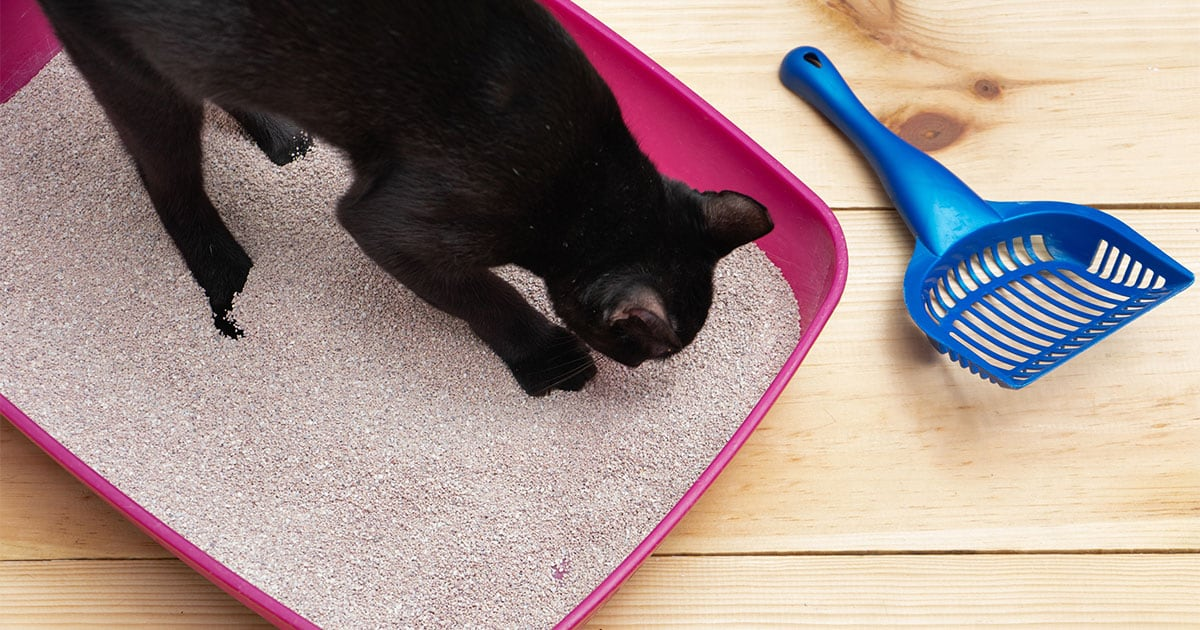 Black Cat Using Its Litter Box | Diamond Pet Foods