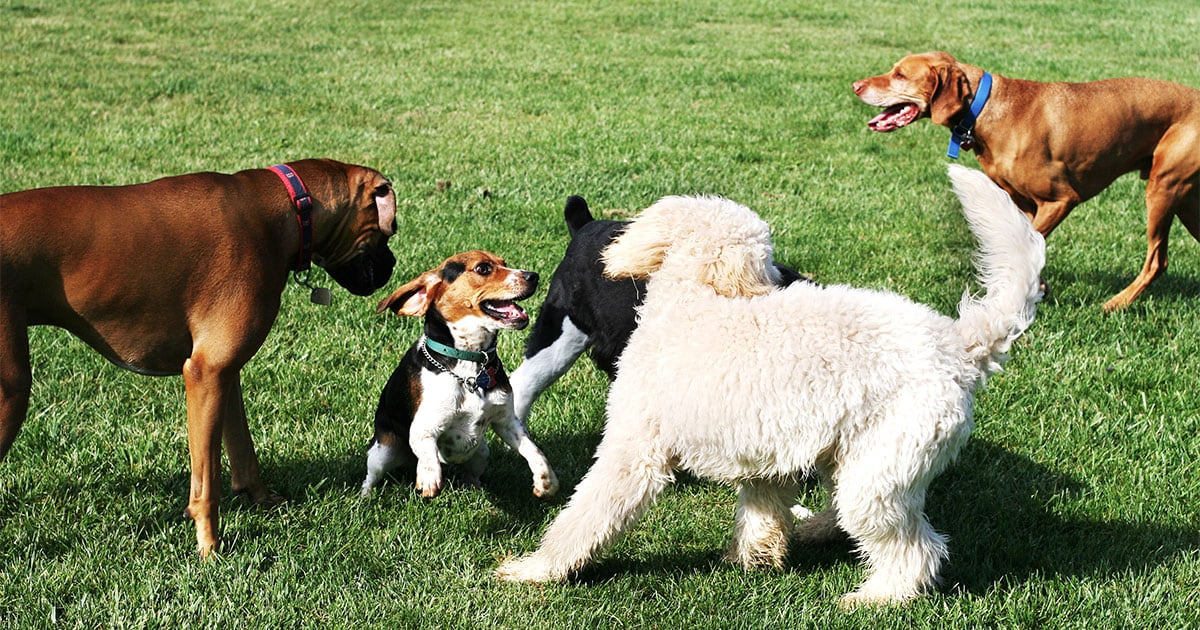 Group of Dogs Playing Outside | Diamond Pet Foods