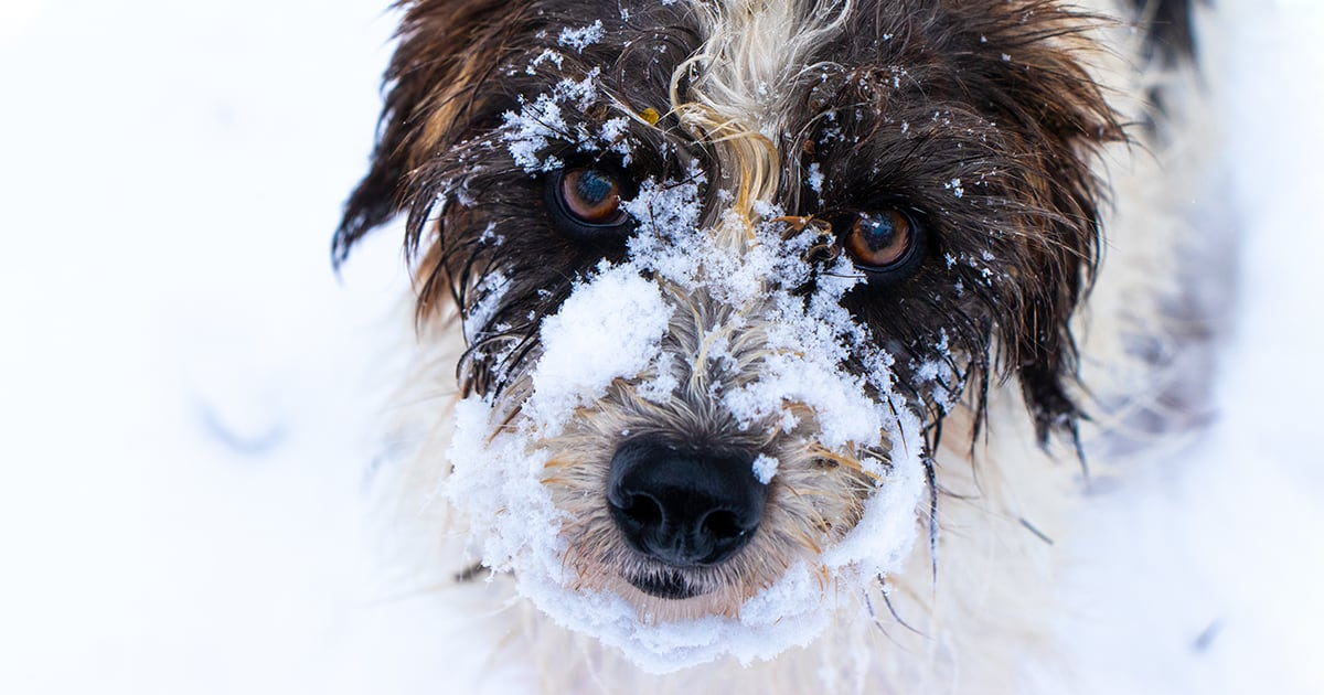 Schnoodle Dog Playing in the Snow | Diamond Pet Foods