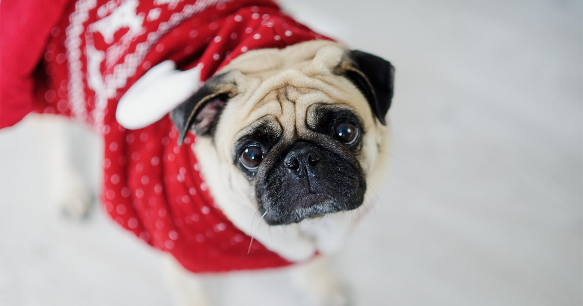 Adorable Pug Dog Wearing a Christmas Sweater | Diamond Pet Foods