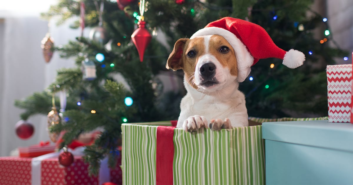 Jack Russell Terrier Dog With a Santa Hat Being Given as a Christmas Gift | Diamond Pet Foods