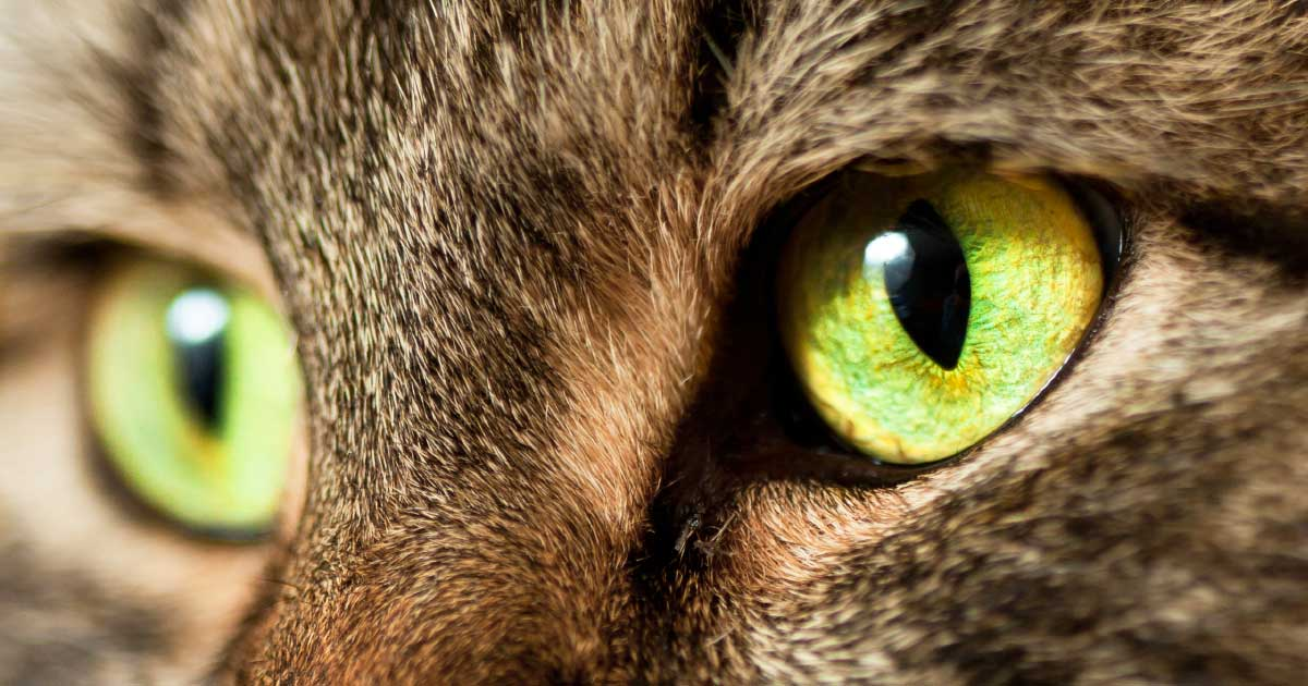 Close-up of a Tabby Cat's Eyes | Diamond Pet Foods