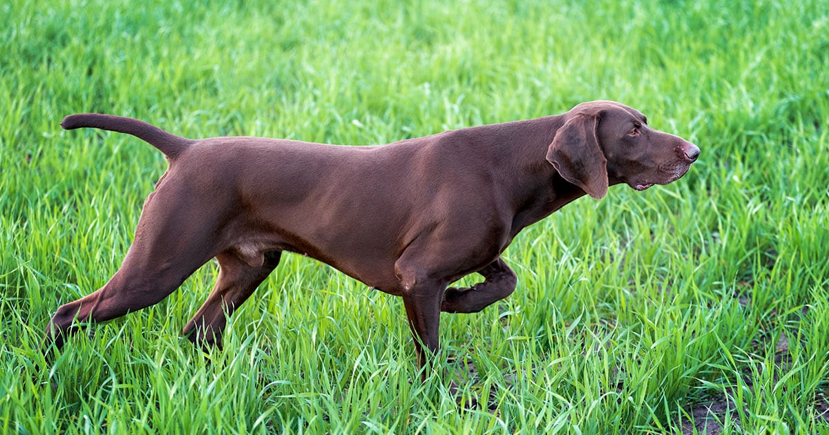 Fit Working Dog Walking Through Grass | Diamond Pet Foods