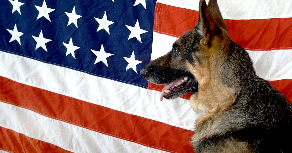 German Shepherd in Front of the American Flag | Diamond Pet Foods