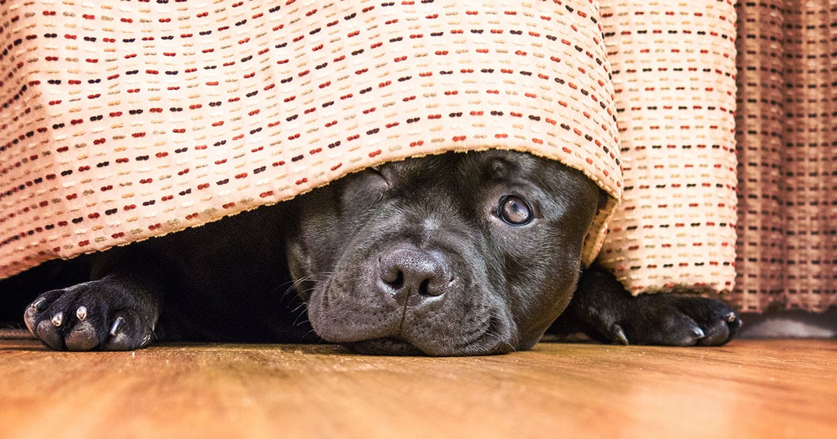 Shy Dog Hiding Under Curtains | Diamond Pet Foods