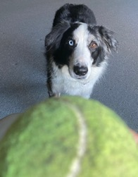 Black and white dog staring at a tennis ball