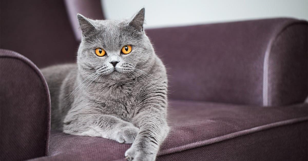 Gray Cat Sitting on an Armchair | Diamond Pet Foods