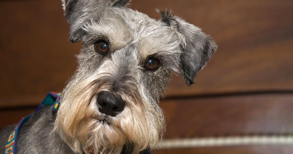 Dog With Short Gray Fur | Diamond Pet Foods