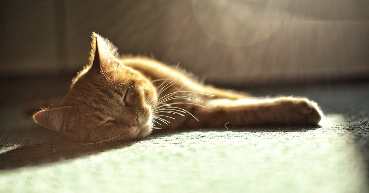 Cat Sleeping on the Carpet | Diamond Pet Foods