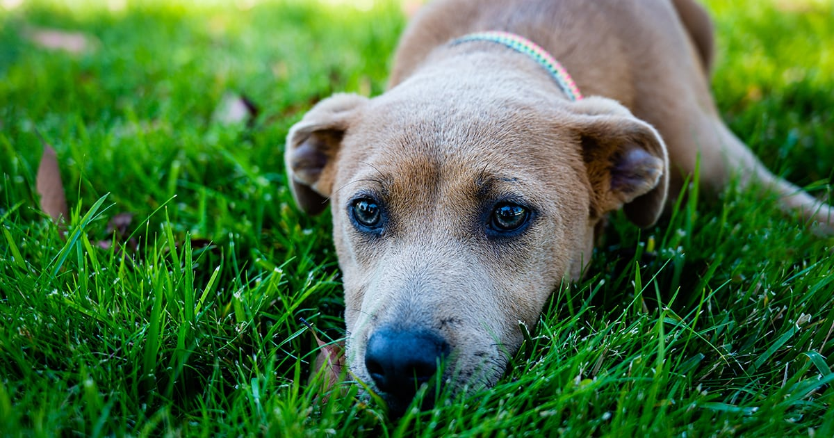 Portrait of a Dog Resting on the Grass | Diamond Pet Foods