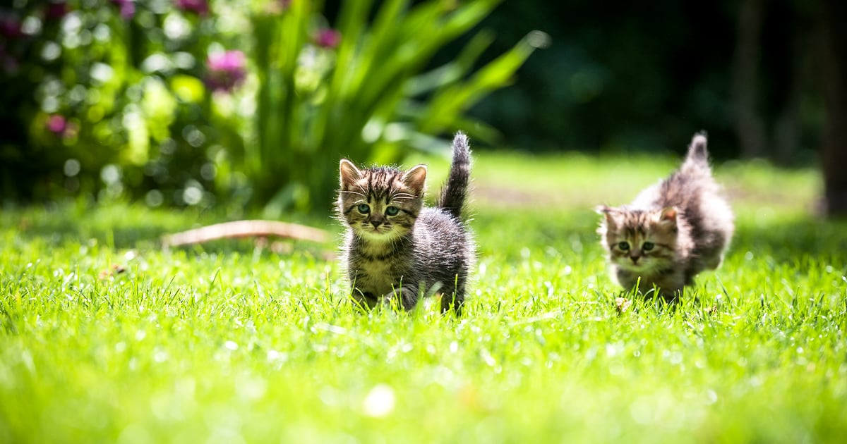 Two Kittens Running in the Grass | Diamond Pet Foods