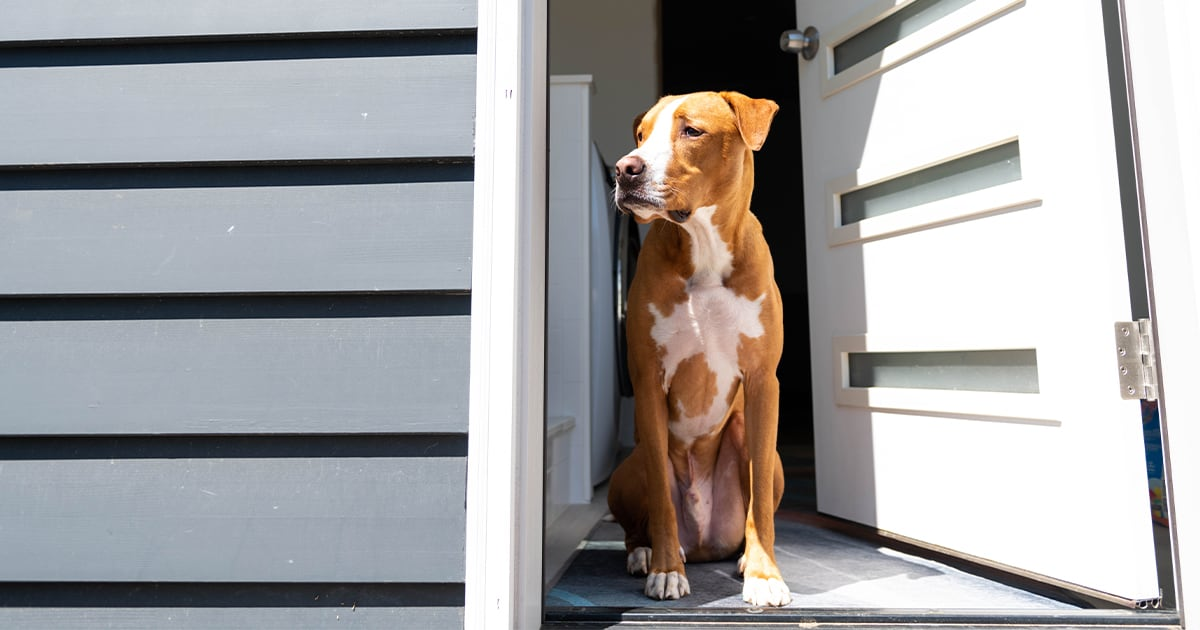 Dog Looking Out a Doorway | Diamond Pet Foods