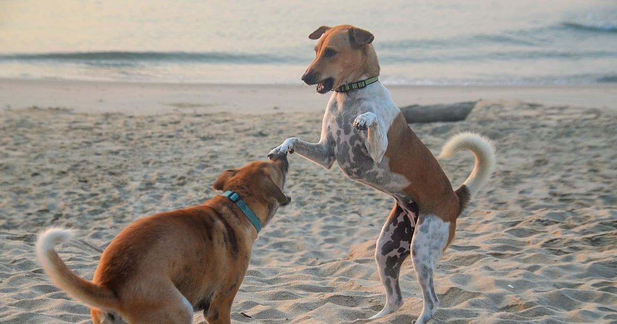 Two Dogs Play Fighting on the Beach | Diamond Pet Foods