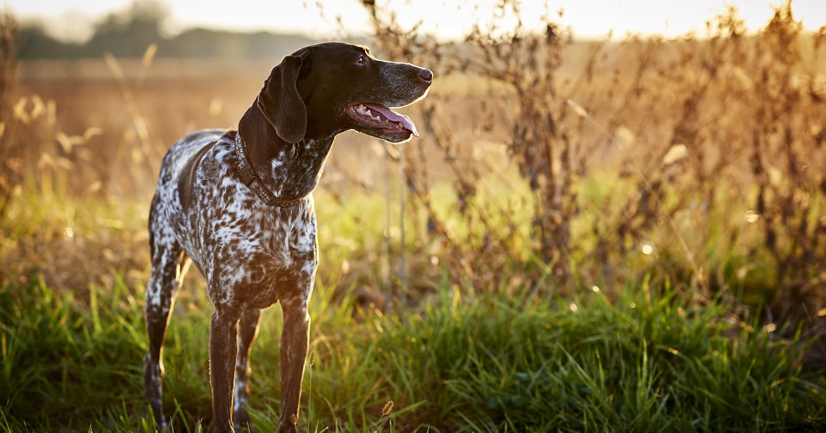 German Shorthaired Pointer Standing in a Fall Field | Diamond Pet Foods