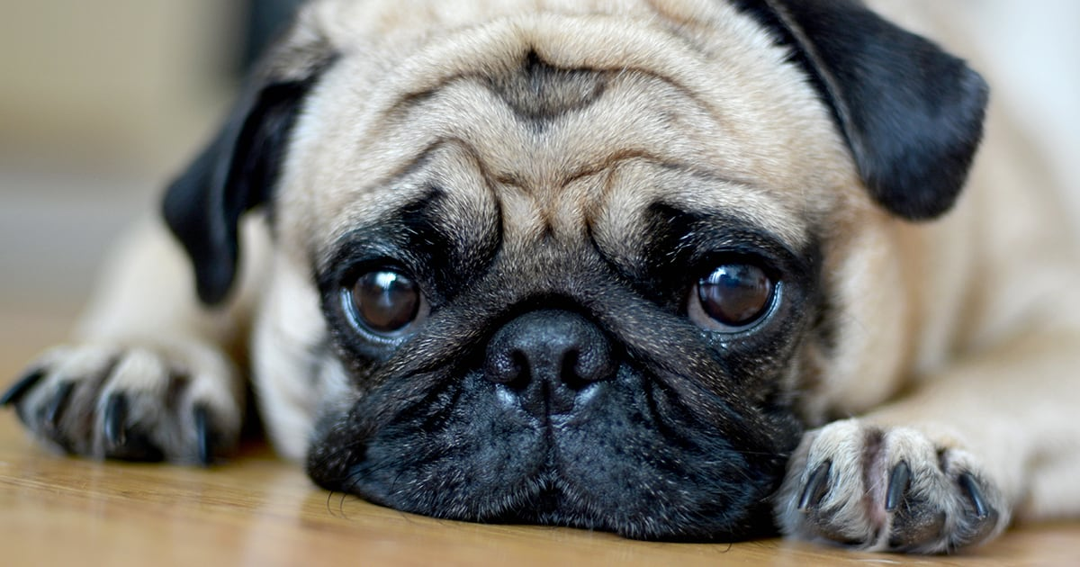 Close-Up of Pug Dog Lying Down | Diamond Pet Foods