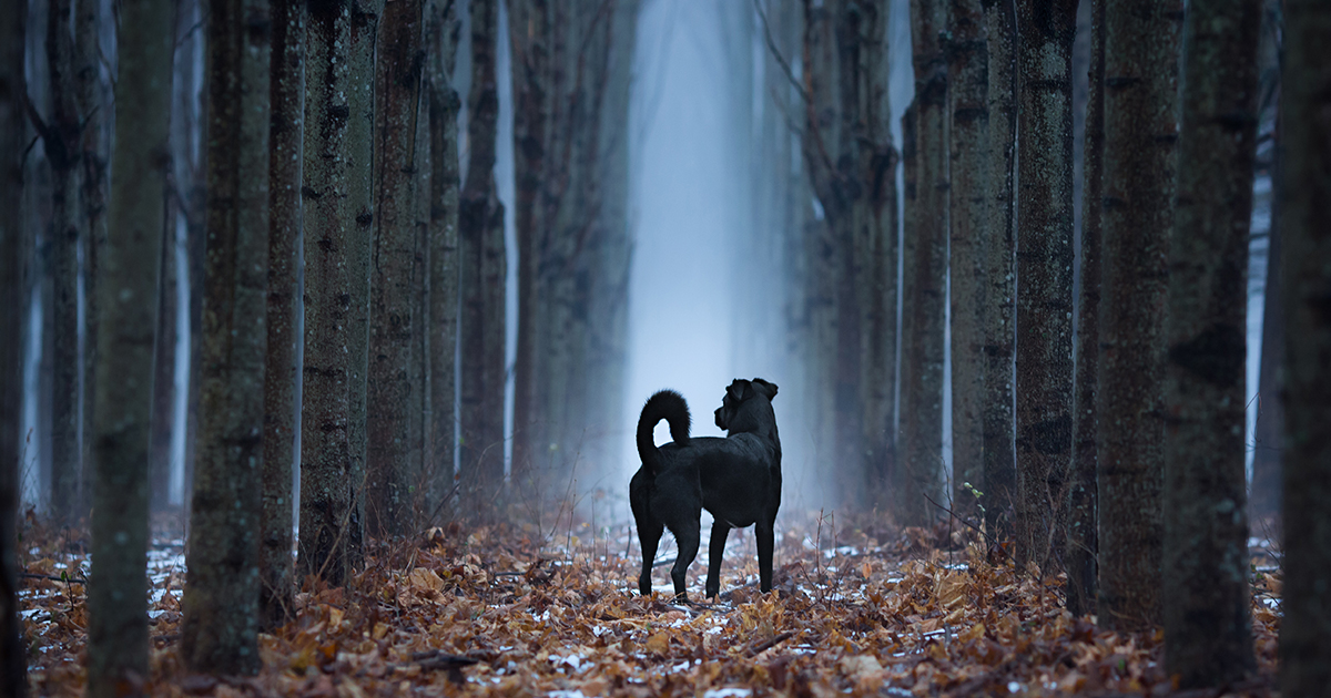 Dog in Misty Forest | Diamond Pet Foods