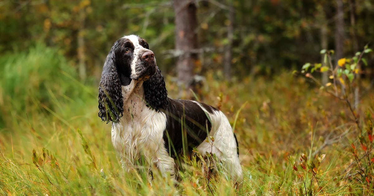 English Springer Spaniel Dog on a Field | Diamond Pet Foods