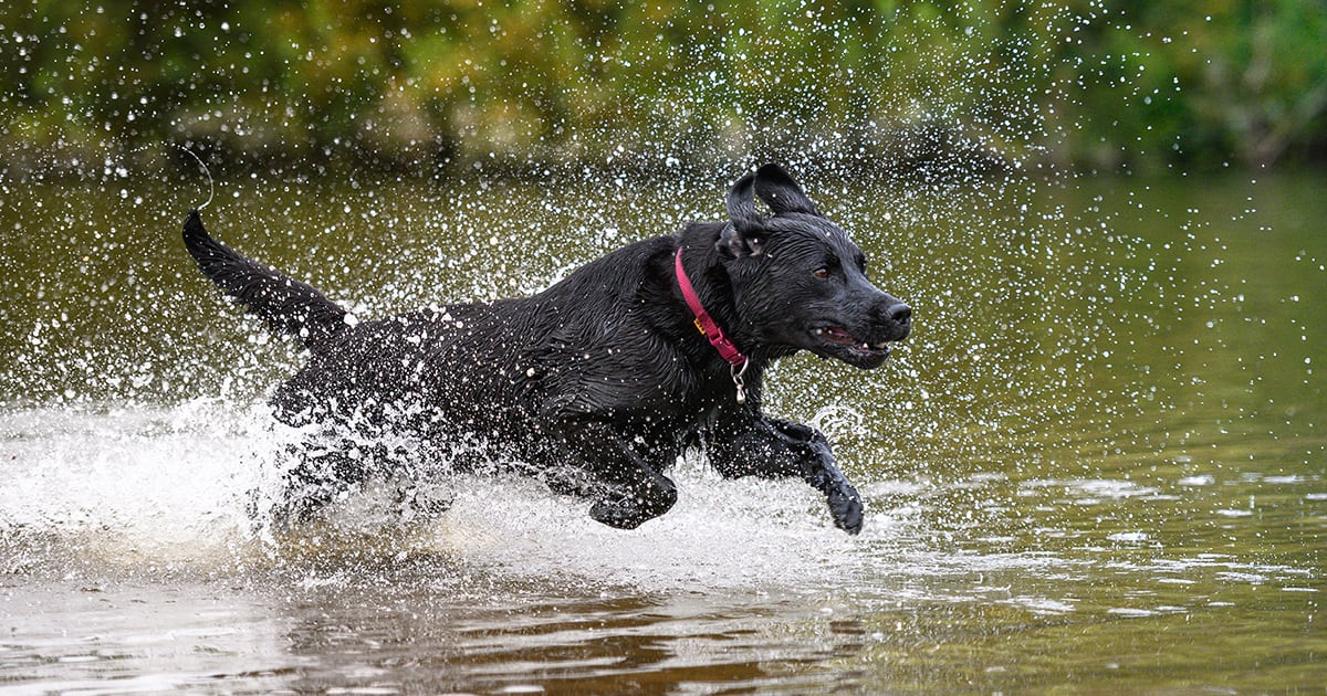 Black Labrador Dog Running Through a Shallow Pond | Diamond Pet Foods