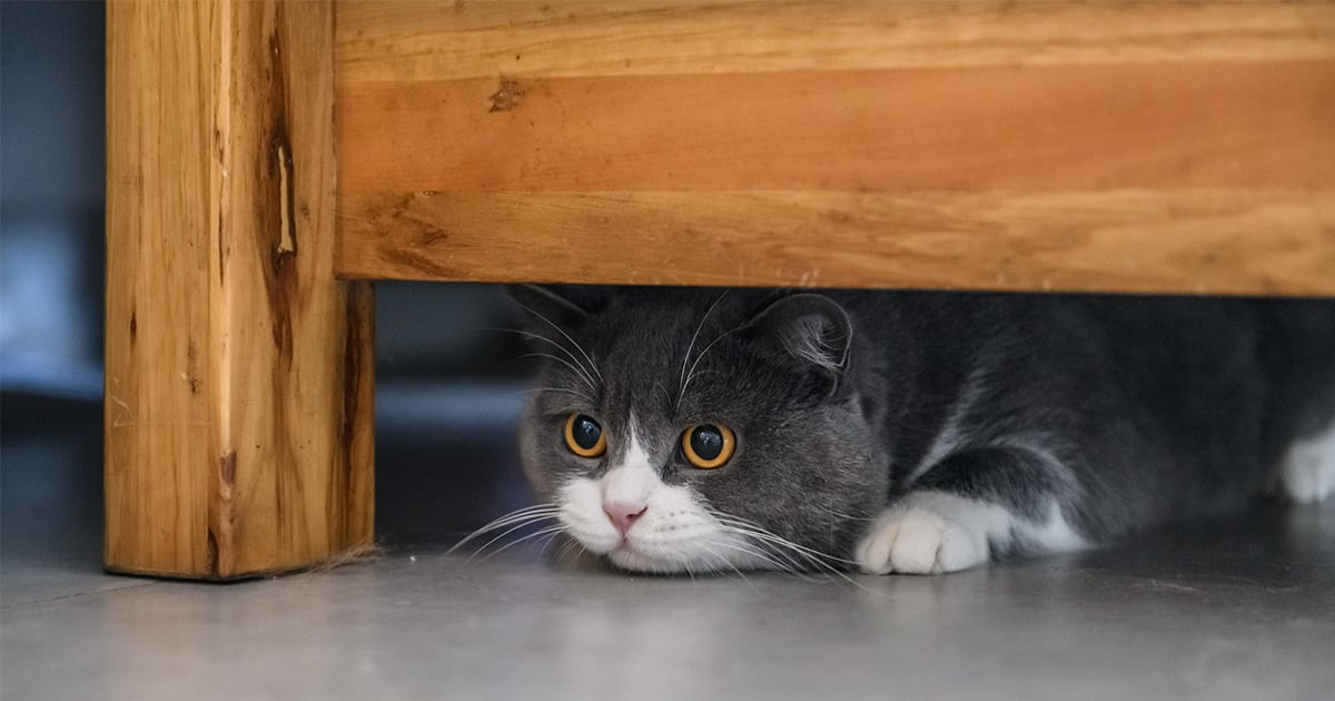 Cat Hiding Under Furniture | Diamond Pet Foods
