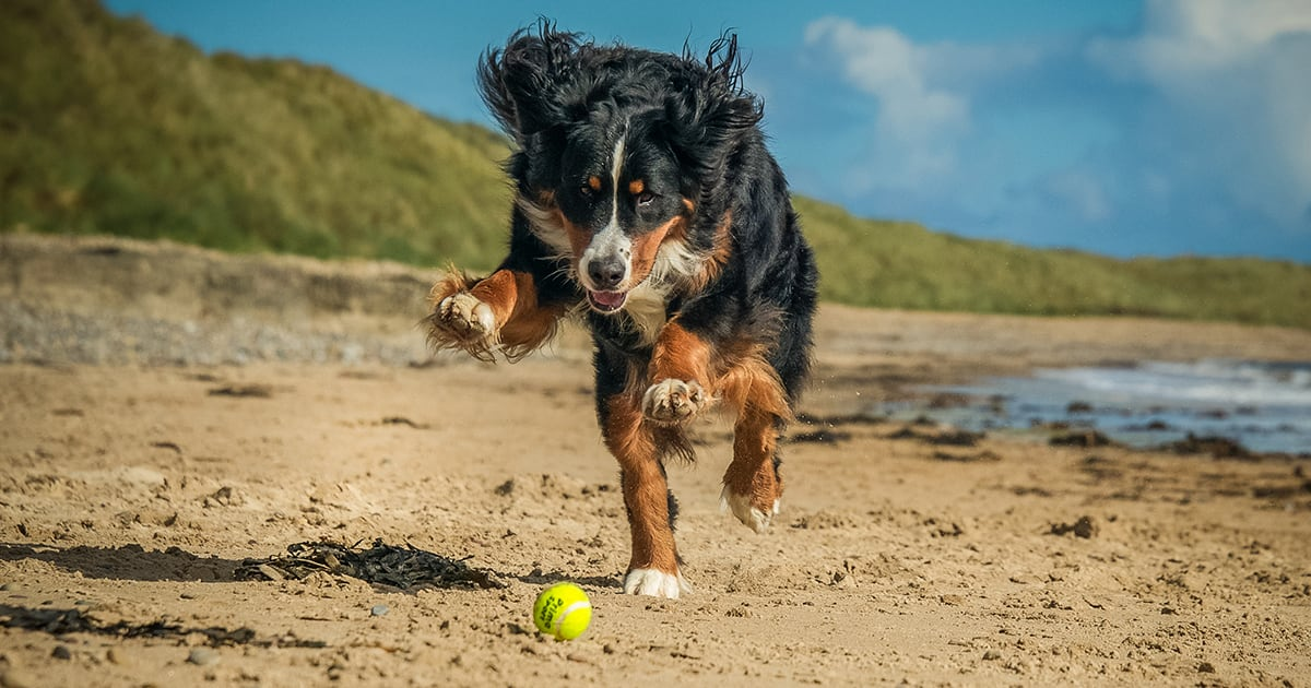 Dog Running After Tennis Ball | Diamond Pet Foods