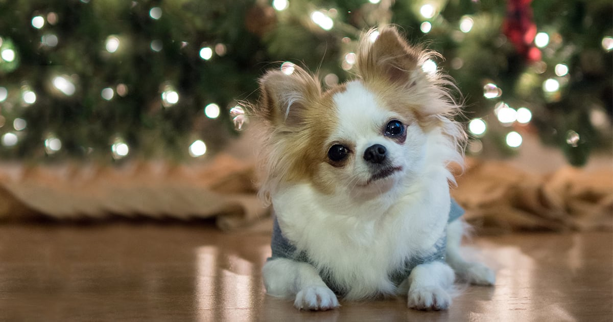 Close-Up of Long-Haired Brown and White Chihuahua Dog Sitting by Christmas Tree | Diamond Pet Foods
