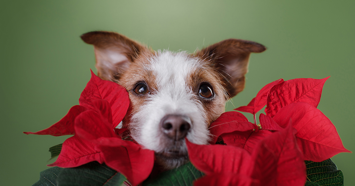 Dog Near Poinsettia | Diamond Pet Foods