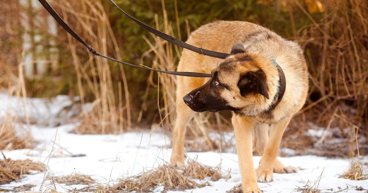 German Shepherd Dog Walking Outside in the Snow | Diamond Pet Foods