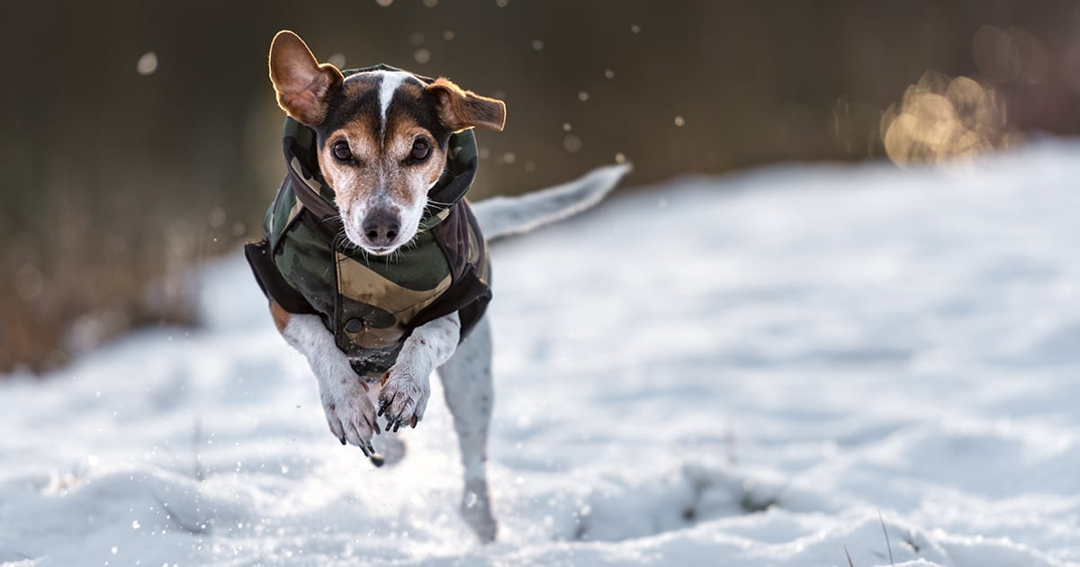 Jack Russell Terrier Dog with Coat Running on Snow | Diamond Pet Foods