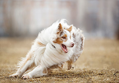 Australian Shepherd Dog Running | Diamond Pet Foods