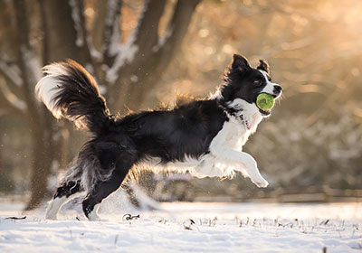 Border Collie Dog Running | Diamond Pet Foods