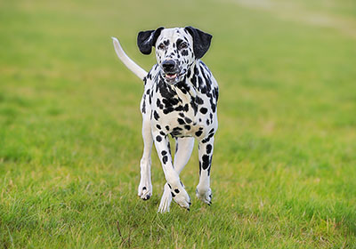 Dalmatian Dog Running | Diamond Pet Foods