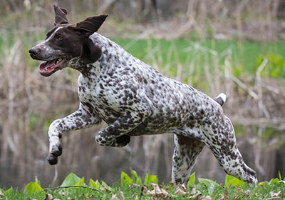 German Shorthaired Pointer Dog Running | Diamond Pet Foods