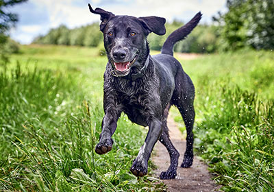 Labrador Retriever Dog Running | Diamond Pet Foods
