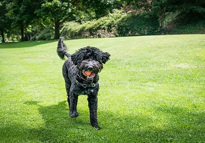 Portuguese Water Dog Running | Diamond Pet Foods