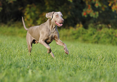 Weimaraner Dog Running | Diamond Pet Foods