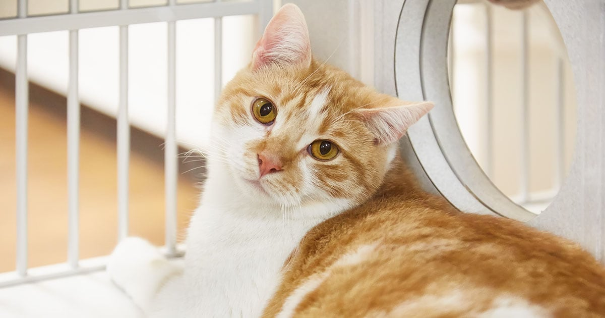 Close-Up Domestic Shorthair Cat | Diamond Pet Foods