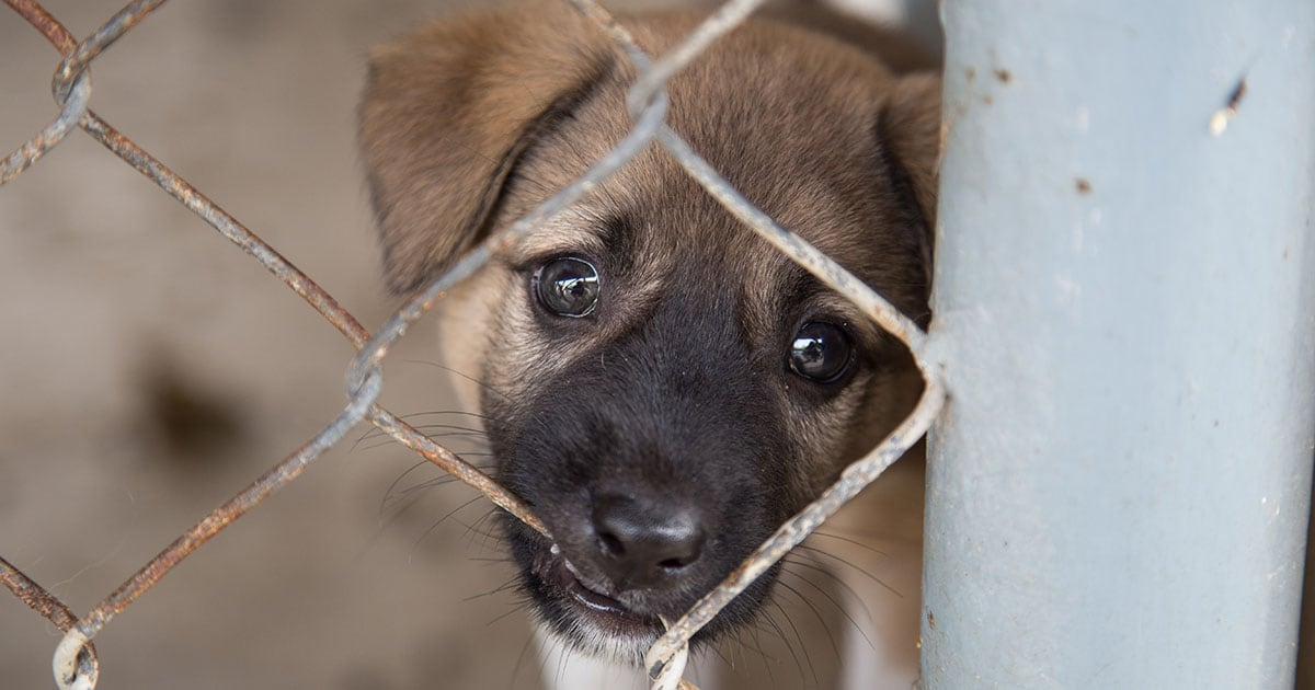 Close-Up of Mixed Breed Puppy Behind Chain-Link Fence | Diamond Pet Foods