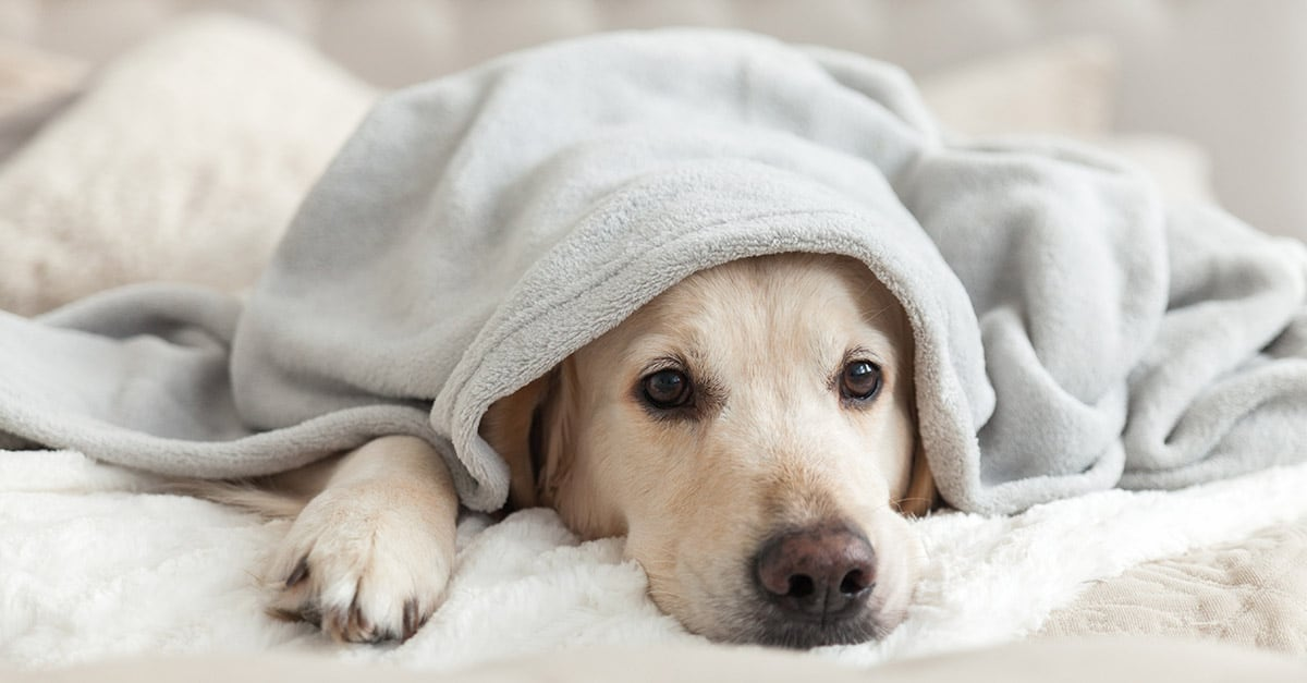 Yellow Labrador Retriever Dog Under Blanket | Diamond Pet Foods