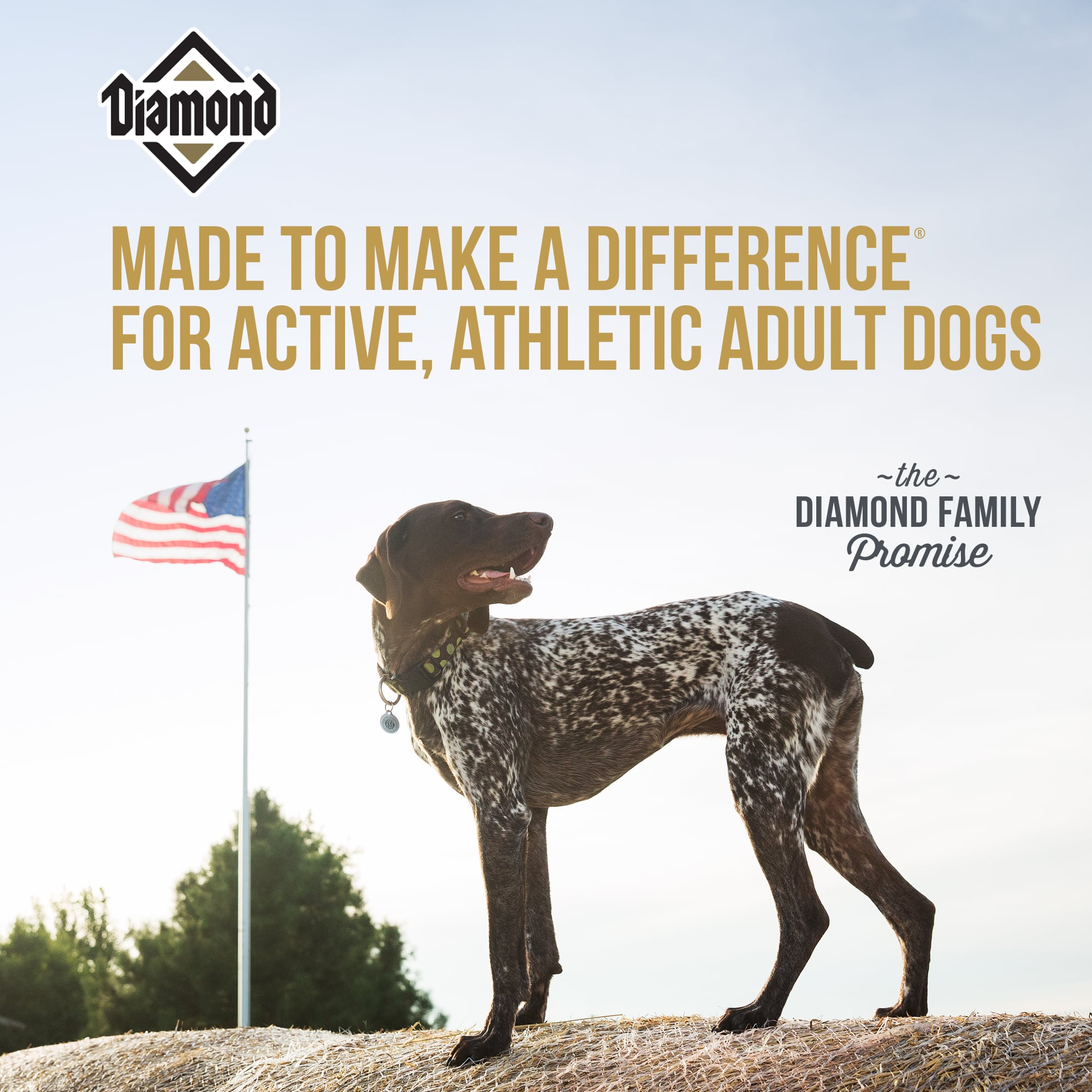 German Shorthaired Pointer Dog Standing on Hay Bale | Diamond Pet Foods