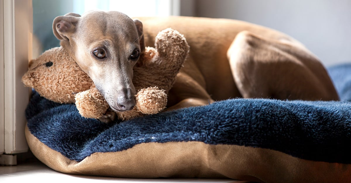 Greyhound Cuddling Teddy Bear | Diamond Pet Foods